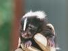 baby-skunk-close